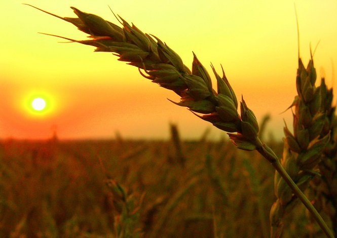 wheat-field-harvest-sunset-665x470